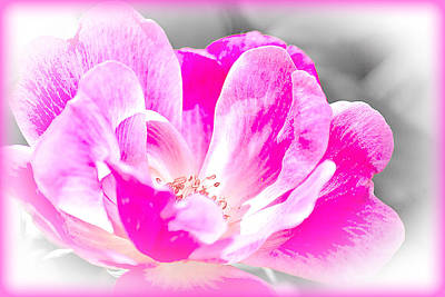 Photograph - Delicate Bloom - Rose Floral by Barry Jones
