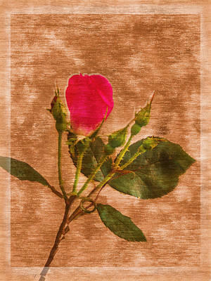 Photograph - Delicate Bloom - Textured Rose by Barry Jones