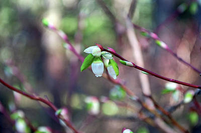 Photograph - Delicate Blooms - Blueberries At Amalga by Cathy Mahnke
