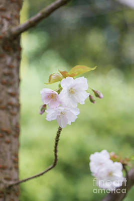 Fruit Tree Art Photograph - Delicate Blossom by Tim Gainey