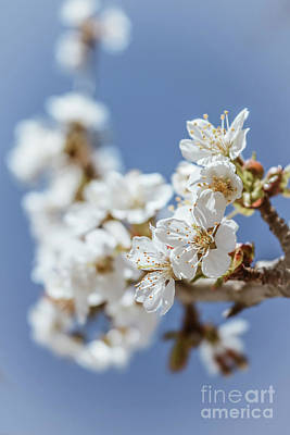 Photograph - Delicate Blossoms by Claudia M Photography