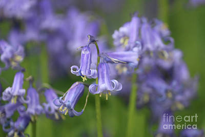 Photograph - Delicate Bluebells At Winkworth Surrey. by Julia Gavin