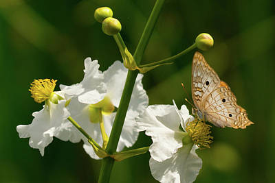 Photograph - Delicate Butterfly Green Cay Boynton Beach Florida by Lawrence S Richardson Jr