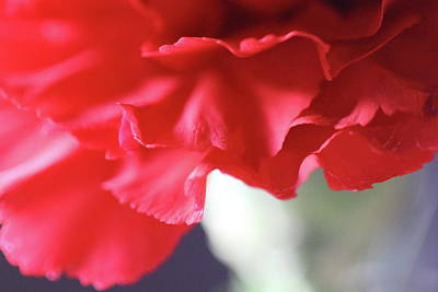 Photograph - Delicate Carnation  by Angela Murdock