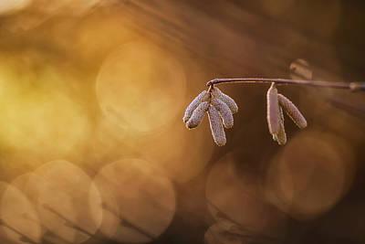 Photograph - Delicate Catkins by Vincent Pelletier