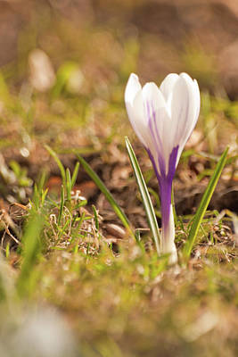 Photograph - Delicate Crocus by Christine Amstutz