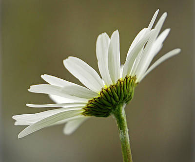 Photograph - Delicate Daisy - 365-353 by Inge Riis McDonald
