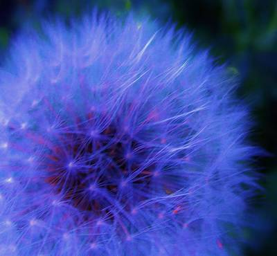 Photograph - Delicate Dandelion Beauty by Sharon Ackley