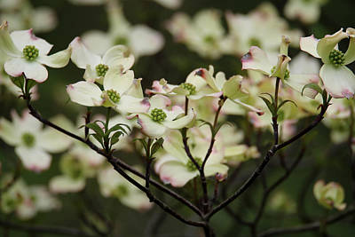 Photograph - Delicate Dogwoods by Living Color Photography Lorraine Lynch
