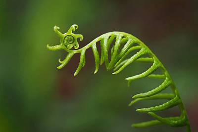 Abstract Photograph - Delicate Fern Frond Spiral by Rona Black