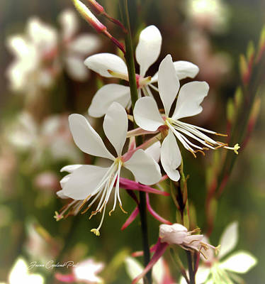 Photograph - Delicate Gaura Flowers by Joann Copeland-Paul