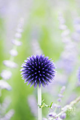 Blue Flowers Photograph - Delicate Globe Thistle  by Tim Gainey