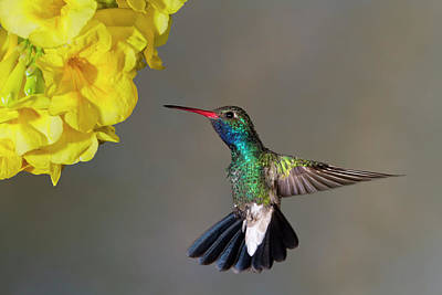 Broadbilled Hummingbirds Photograph - Delicate by Janet Fikar