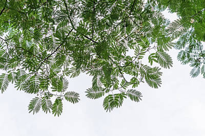 Photograph - Delicate Lace In The Sky - Gossamer Mimosa Leaves And Flower Puffs by Georgia Mizuleva