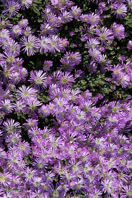 Photograph - Delicate Lavender Ice Plant by Deana Glenz