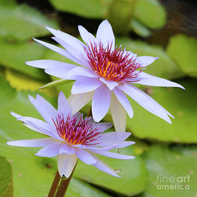 Photograph - Delicate Lavender Water Lilies by Carol Groenen