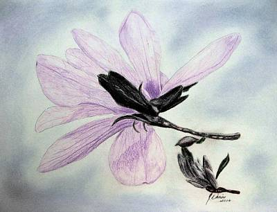 Magnolia Flower Drawing - Delicate Magnolia by Angela Davies