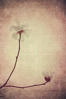 Photograph - Delicate - Magnolia by Melanie Alexandra Price