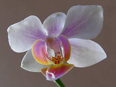 Photograph - Delicate Orchid by Juergen Roth