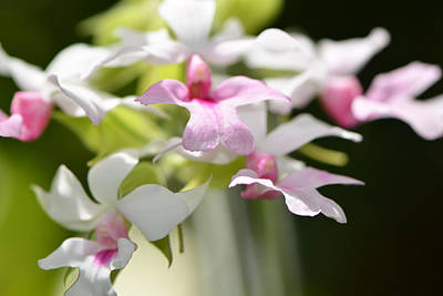 Soothing Photograph - Delicate Orchids By Sharon Cummings by Sharon Cummings