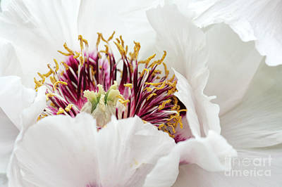 Delicate Peony Art Print by Tim Gainey