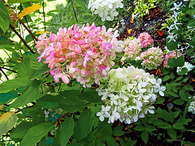 Photograph - Delicate Pink And White Hydrangea by Susan Savad