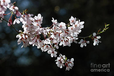 Photograph - Delicate Pink Cherry Blossom by Julia Gavin