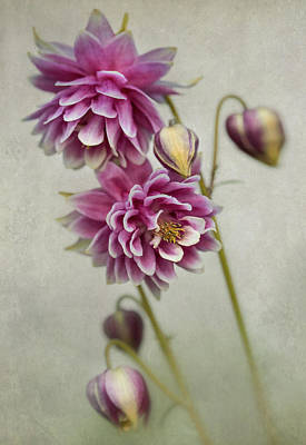 Photograph - Delicate Pink Columbine by Jaroslaw Blaminsky
