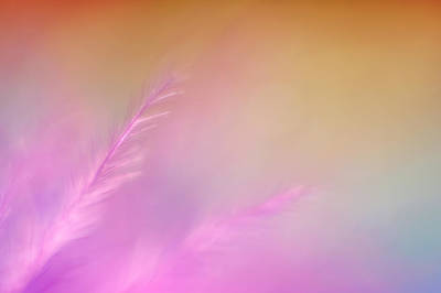Indoor Still Life Photograph - Delicate Pink Feather by Scott Norris