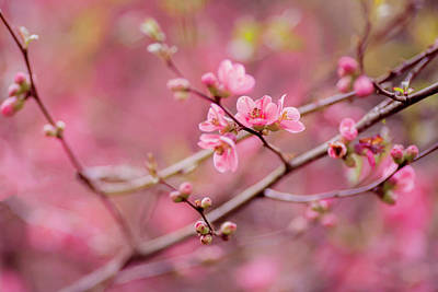 Photograph - Flowering Cherry Tree by Vincent Pelletier