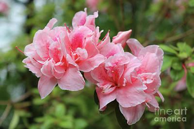 Photograph - Delicate Pink Georgia Azaleas by Carol Groenen