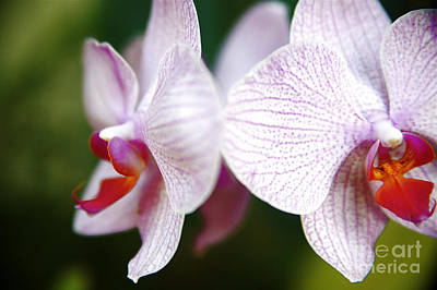 Photograph - Delicate Pink Orchids by Kicka Witte - Printscapes