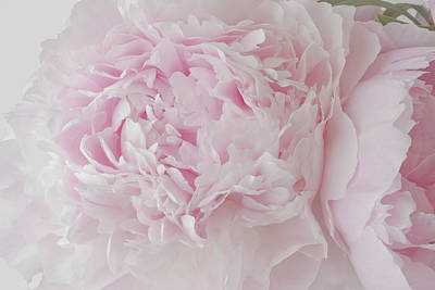 Photograph - Delicate Pink Peony Flowers by Sandra Foster