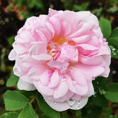 Photograph - Delicate Pink Rose In Rain by Gill Billington