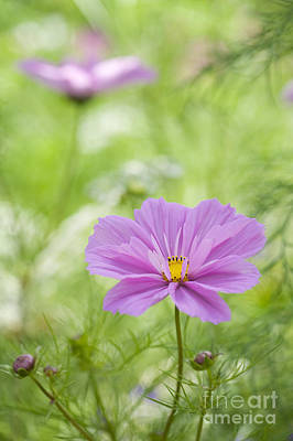 Asters Photograph - Delicate Pink by Tim Gainey