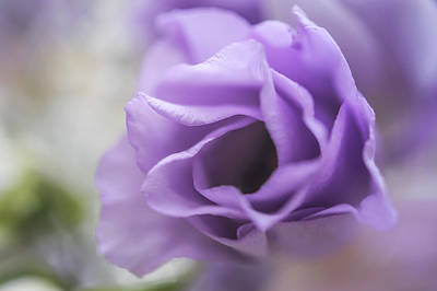 Photograph - Delicate Purple by Jenny Rainbow