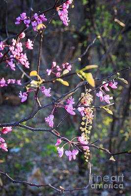 Photograph - Delicate Redbuds by Richard Smith