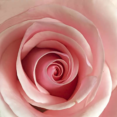 Roses Royalty-Free and Rights-Managed Images - Delicate Rose by Andrew Soundarajan