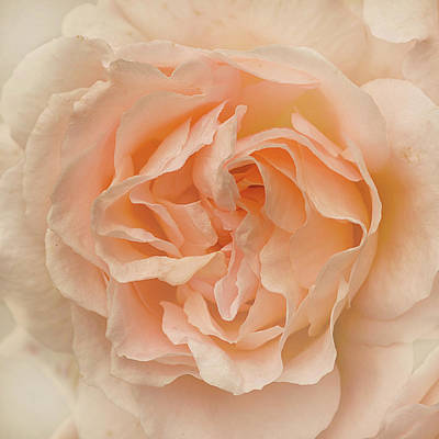 Photograph - Delicate Rose by Jacqi Elmslie