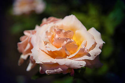 Photograph - Delicate Rose by Milena Ilieva