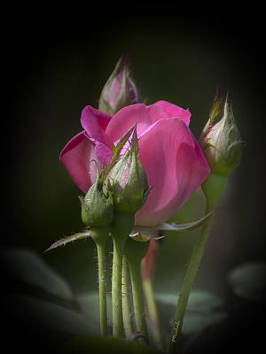 Photograph - Delicate Rose With Buds by Michele Loftus