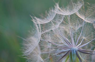 Photograph - Delicate Seeds by Amee Cave