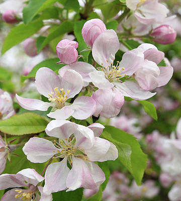 Photograph - Delicate Soft Pink Apple Blossom by Gill Billington