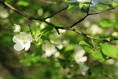 Photograph - Delicate White Blossoms In Spring by Joni Eskridge