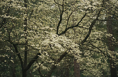 Forests And Forestry Photograph - Delicate White Dogwood Blossoms Cover by Raymond Gehman