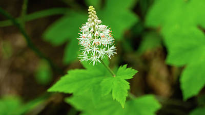 Photograph - Delicate Wildflower Georgia Mountains by Lawrence S Richardson Jr