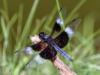 Photograph - Delicate Wings Of A Dragonfly by Kerri Farley