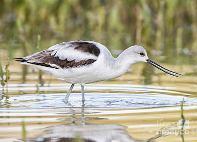 Photograph - delightful Avocet by Ruth Jolly