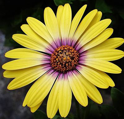 Photograph - Delightful Daisy by Bruce Bley