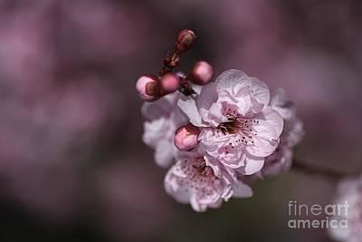 Delightful Pink Prunus Flowers Art Print by Joy Watson